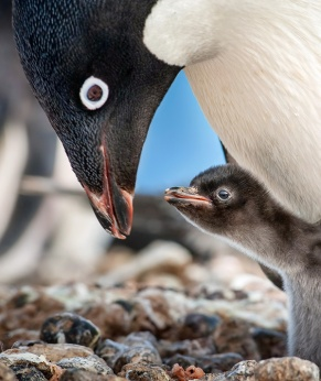 "Disneynature ""Penguins"""